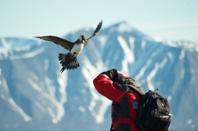 Parasitic Jaeger, Svalbard