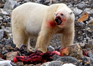 Canada assumes the chair of the Arctic Council this week. So here's a photo of a bear eating a seal. Photo: me