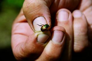 Japanese Beetle, Ottawa