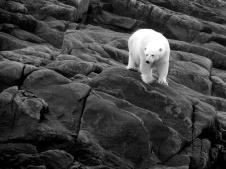 Polar bear near Pangnirtung, Nunavut