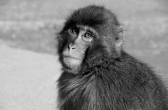 Macaque monkey, Kyoto, Japan